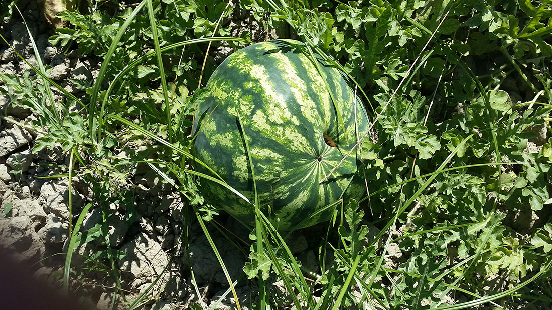 Blue Lagoon Water Melons